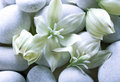 Yucca flowers on white pebbles Royalty Free Stock Photo