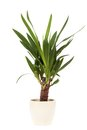 Yucca houseplant studio shot of Royalty Free Stock Photos