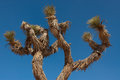 Yucca joshua tree over an intense blue sky Stock Images