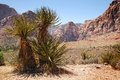 Yucca plants in the desert of red rock canyon in nevada Royalty Free Stock Photo