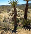 Yucca Trees, Mountains, Cactus, Shadows Dot the Desert Landscape Royalty Free Stock Photo