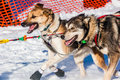 Yukon Quest sled dogs Royalty Free Stock Photo