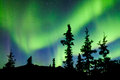 Yukon taiga spruce northern lights aurora borealis intense bands of or or polar dancing on night sky over boreal forest trees of Stock Photography