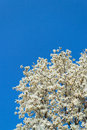Yulan magnolia a flourishing denudata or in western china Royalty Free Stock Image