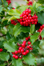 Yuletide Holly Berries Stock Photography