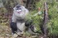 Yunnan Black Snub-Nosed Monkey Rhinopithecus Bieti Royalty Free Stock Photo