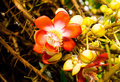 Zakończenie piękny tropikalny działo piłki drzewo Obrazy Royalty Free