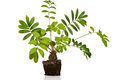 Zamia furfuracea tree isolated on white background Stock Photo