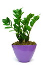 Zamia pot isolated white background Stock Photo