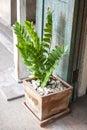 Zamioculcas zamifolia Royalty Free Stock Photo