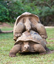 Zamknięty Mauritius duży zamknięty żółw Seychelles Obraz Stock
