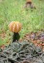 Zamyka up  ółty podbródka kaktus Zdjęcia Royalty Free