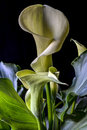 Zantedeschia aethiopica common names calla lily arum lily a k a varkoor an afrikaans name meaning pig s ear is a species in the Royalty Free Stock Photography