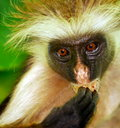 Zanzibar monkey Royalty Free Stock Image
