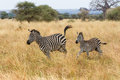 Zebra mother and foal running Royalty Free Stock Photo