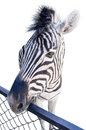 The Zebra Royalty Free Stock Image