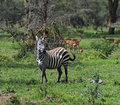 Zebra african kenya in their natural habitat nakuru park Royalty Free Stock Photography
