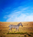 Zebra on African savanna. Stock Photo