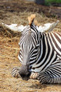 Zebra african sleeping on field Stock Images