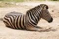 Zebra african sleeping on field Stock Image