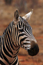 A Zebra Alert For Danger Royalty Free Stock Image