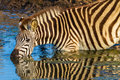 Zebra alert drinking mirror colors with reflections on waters in morning light wildlife park reserve Royalty Free Stock Photo