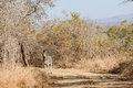 Zebra alone dirt road bush wildlife on in animal landscape looks alert for any danger Stock Photos
