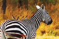 Zebra, Amboseli Royalty Free Stock Photo