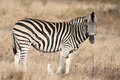 Zebra animals of africa this is a Stock Images