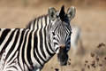 Zebra animals of africa this is a Royalty Free Stock Images