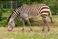 Zebra beautiful graze on grass Stock Photos