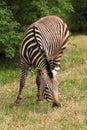 Zebra beautiful graze on grass Stock Photo