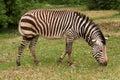 Zebra beautiful graze on grass Stock Image