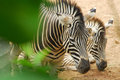 Zebra behind bush in zoo Stock Photo
