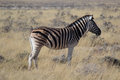 Zebra with a big scar in its back eating alone in the Etosha National Park Royalty Free Stock Photo