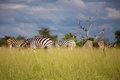 Zebra in botswana group of zebras eating grass Royalty Free Stock Images