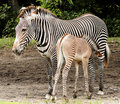 Zebra Calf Feeding Royalty Free Stock Image