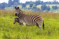 Zebra Calf Protect Royalty Free Stock Photo