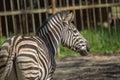 Zebra in captivity single closeup the zoo Royalty Free Stock Image