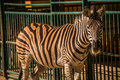Zebra in captivity zoo Royalty Free Stock Photo
