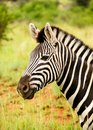 Zebra chewing grass Stock Images