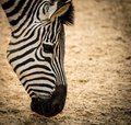 Zebra close up of a Royalty Free Stock Photography