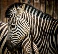 Zebra close up of a Stock Photography
