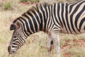 Zebra - close up picture Stock Image