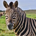 Zebra close up of wild Royalty Free Stock Images