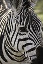 Zebra close up of a zebras face Royalty Free Stock Photo
