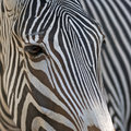 Zebra closeup portrait of a Royalty Free Stock Photos