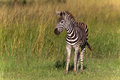 Zebra Colt Phinda Royalty Free Stock Photography