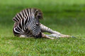Zebra Colt Resting Stock Photo