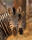 Zebra Couple Stock Image